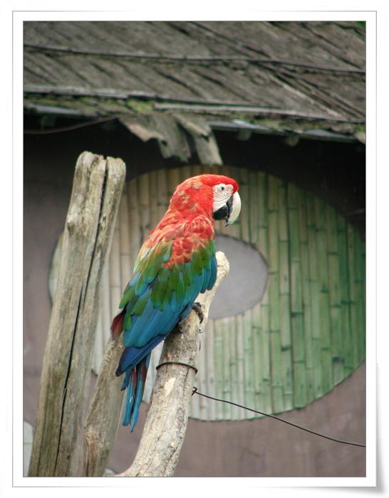 动物 鸟 鹦鹉 546